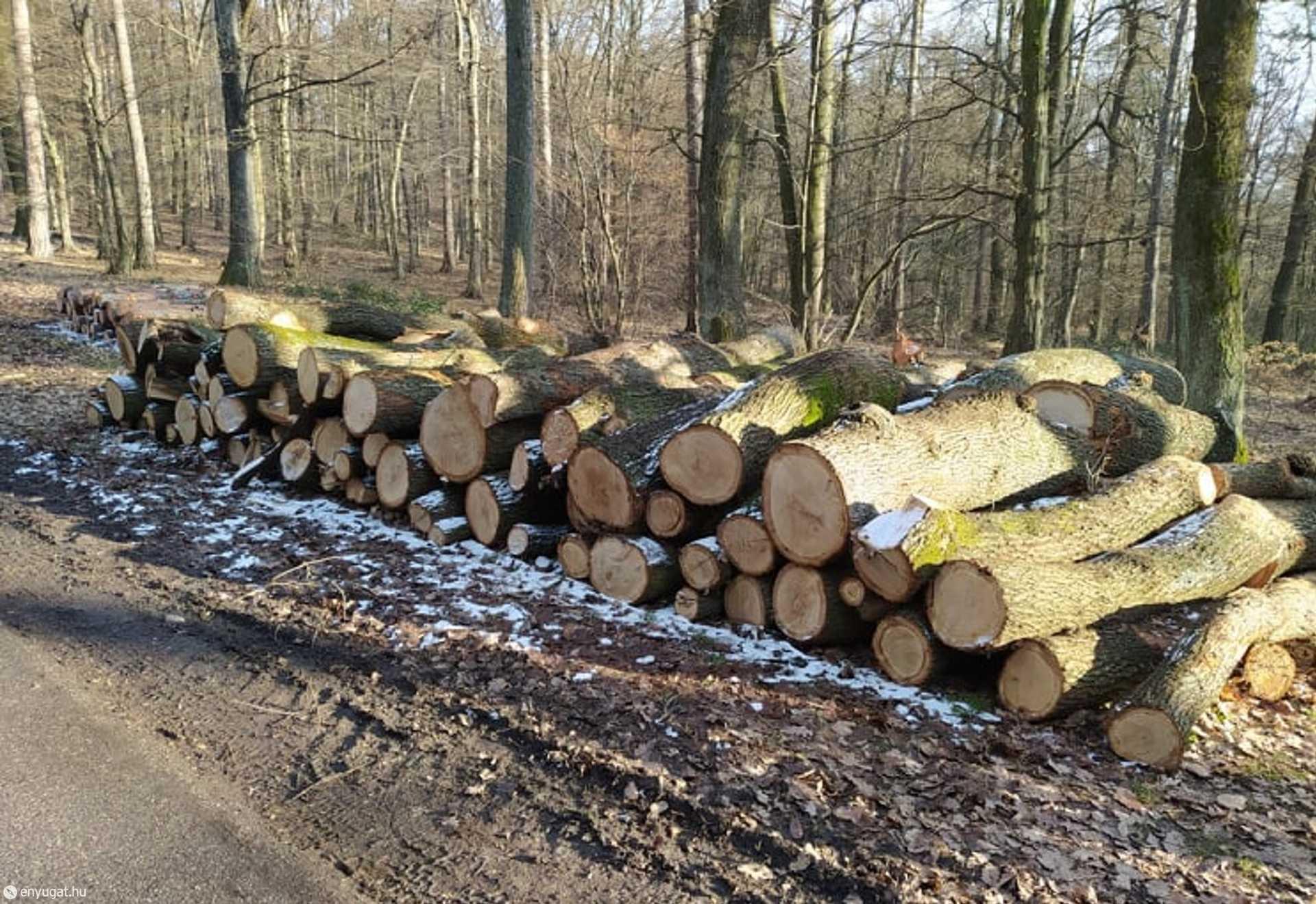 Már elszállításra várnak az erdő feldarabolt óriásai.